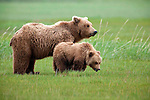 Brown bear & cub, Katmai National Park, Alaska