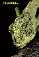 CH29-010z   African Chameleon - eyes rotate completely and independently of each other - Chameleo senegalensis