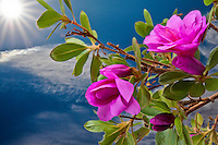 Pink flowers, buds and green leaves on a bonsai tree have been given a sunburst, blue sky and clouds background thanks to Photoshop.