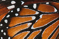 Queen Butterfly (Danaus gilippus), wing close up, Sinton, Coastel Bend, Texas, USA