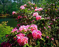 Evergreem Rhododendron, Callaway Gardens, Pine Mountain, Georgia