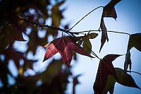 Leaves, autumn red, in soft shadow light with blue sky background