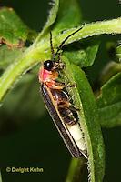 1C24-772z  Pyralis Firefly - Lightning Bug - Male - Photinus spp.