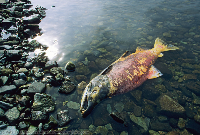 Dead sockeye (red) salmon following spawn, Katmai National Park, Alaska