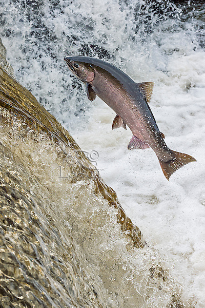 Coho or silver salmon (Oncorhynchus kisutch) during fall spawning migration trying to jump river falls.  Pacific Northwest.  October.  Wild fish not hatchery fish.  The yellow/brown water is from tannin formed by leaves (mostly big leaf maple) decomposing in the river--quite natural in fall.