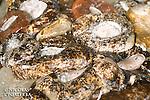 Concombres de mer salés pour être vendus en ville