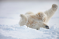 Polar bear cub rolls in the snow to clean its fur on an island in the Beaufort sea, arctic Alaska.