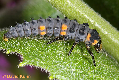 0106-0902  Seven-spotted Ladybug Larva, Coccinella septempunctata, Virginia  © David Kuhn/Dwight Kuhn Photography