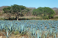Field of blue agave plants used in the making of Tequila, Sinaloa, Mexico