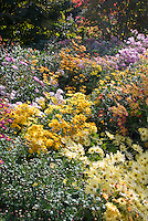 Mix of Chrysanthemums in autumn fall, yellow, pink, orange, NYBG