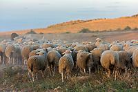 """Europe, Espagne, Navarre, env de Carcastillo : Parc Naturel des Bardenas Reales, Le 18 septembre, El Paso :  la Sanmiguelada, jour de transhumance, Entrée des troupeaux de moutons dans les Bardenas par El Paso  // Europe, Spain, Navarre, near Carcastillo : Bardenas Reales Natural Park, El Paso: the """"Sanmiguelada"""", the day when thousands of sheep from the Pyrenean valleys make their way to this vast extension along El Paso to graze during the winter"""