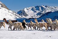 A herd of snow dusted ALPACAS pass by LAGUNA JATUN PUCACOCHA - AUZANGATE TREK, PERUVIAN ANDES