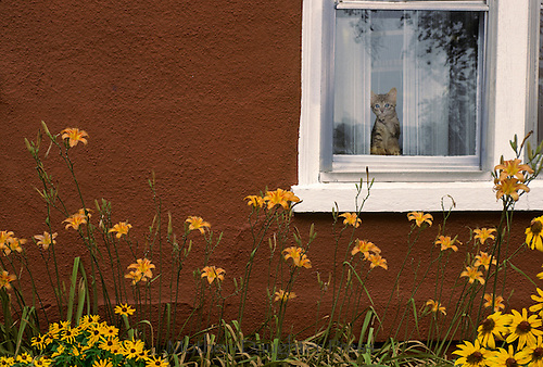 Tabby kitten in window looking out at blooming flowers from house