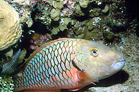 MARINE LIFE<br /> Parrotfish<br /> Parrotfish play an important role in bioerosion, found in shallow tropical and subtropical oceans of the world. Their eating habits allow coral sands to be distributed and prevent algae from choking coral.