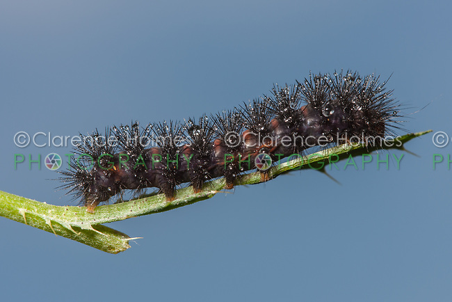 A Giant Leopard Moth (Hypercompe scribonia) caterpillar perches on a plant stem.