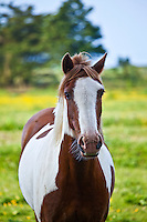 Traditional Irish skewbald paint horse in buttercup meadow near Kilmore, Ireland