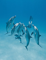 RW4963-Dv. Atlantic Spotted Dolphins (Stenella frontalis), resident pods of wild dolphins in the Bahamas off Bimini and Grand Bahama Island offer eco-tourists from around the world a superb encounter swimming with the playful marine mammals. Bahamas, Atlantic Ocean. Cropped to vertical from native horizontal format.<br /> Photo Copyright &copy; Brandon Cole. All rights reserved worldwide.  www.brandoncole.com