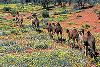 Wild Camels in the Desert with flowers, Simpson Desert, Australia