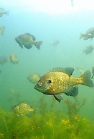 Bluegill Sunfish school<br />
