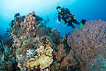 Anda, Bohol, Philippines; a scuba diver swimming over a coral bommie with hard and soft corals and a large sea fan