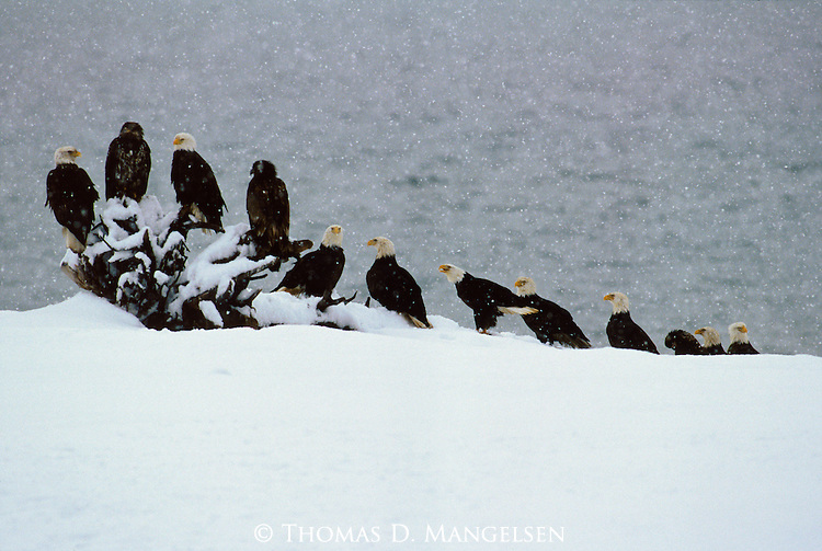 Adult and juvenile bald eagles perch on driftwood on a shoreline in Southeast Alaska.