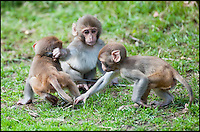 BNPS.co.uk (01202 558833)<br /> Pic: IanTurner/BNPS<br /> <br /> Cheeky monkeys - Longleat's Macaque's start training for their monkey business early.<br /> <br /> A baby boom at the Wiltshire attraction spells trouble for visitor cars - They may only be a few months old but it didn't take these cheeky monkeys long to follow in their parents' criminal footsteps - by dismantling cars.<br /> <br /> The trio of juvenile delinquents were spotted playing tug-of-war with a section of car trim they had recently 'liberated' from a passing vehicle at Longleat Safari Park.<br /> <br /> And despite their tendency to tinker with visitors' cars, the rhesus macaques remain a favourite at the Wiltshire attraction.