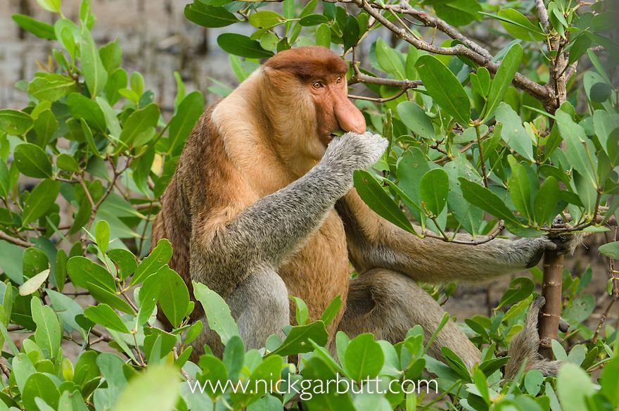Adult male Proboscis Monkey (Nasalis larvatus) feeding at low tide on mangrove leaves. Bako National Park, Sarawak, Borneo.