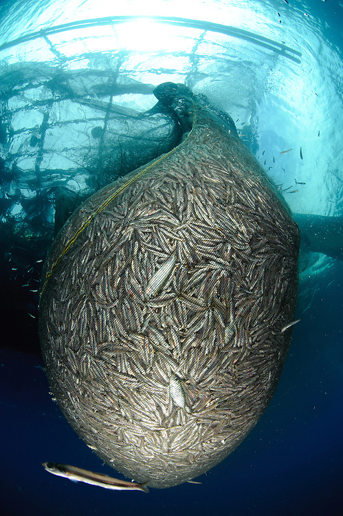 Net full of Ikan Puri, a small anchovy like fish, under a fishing platform (bagan), captured using a lift net and high powered lights during the nightime