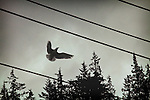 Silhouette of a bird flying between electricity cables