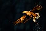Norway Winter Eagles