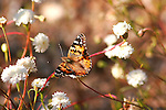 A Painted Lady Butterfly Hovers Over Wildflowers in Anza Borrego Desert California