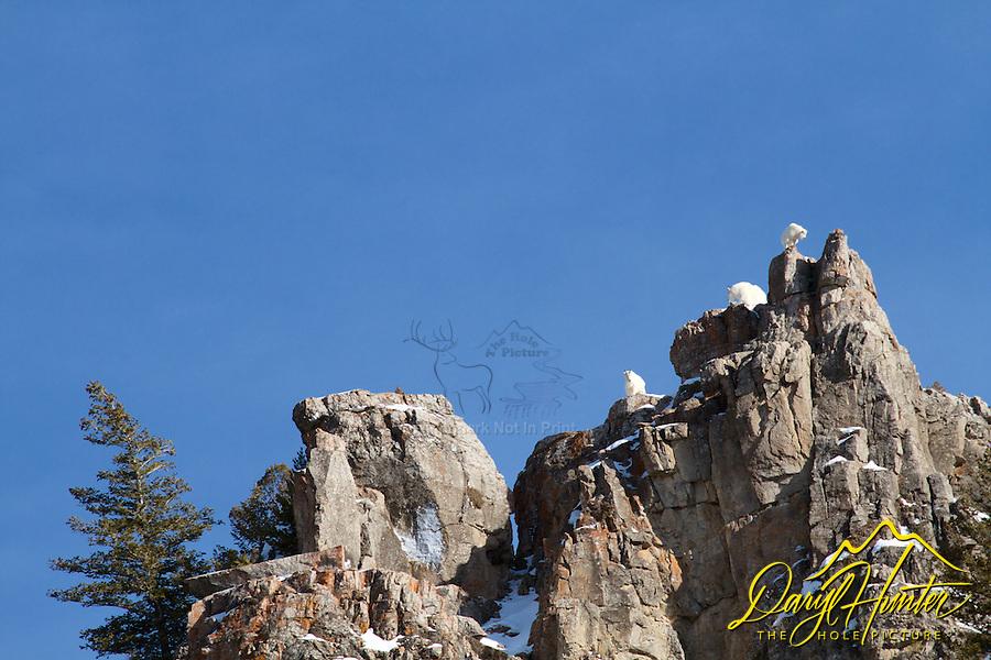 Mountain Goats on pinnacle at Palisades Creek in Swan Valley Idaho