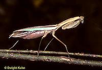 1M01-009x  Praying Mantis adult - Tenodera aridifolia sinenesis