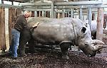 Foto: VidiPhoto<br /> <br /> ARNHEM - Een drukke ochtend voor dierentuinarts Henk Luten vrijdag in Burgers' Zoo in Arnhem. Als eerste moest de huid van twee neushoorns gecontroleerd en ingevet worden. Met name de stokoude breedlipneushoorn Freya had last van een droge huid, waardoor scheuren en dus infecties kunnen ontstaan. Neushoorn Gingabella kreeg een flinke schrobbeurt om losse huidschilfers te verwijderen. Freya is de laatste in het wild gevangen neushoorn van de Arnhemse dierentuin. Indertijd nodig om de soort te redden. De meeste neushoorns in dierentuinen worden geboren door eigen fok, of die van andere dierenparken.  Vervolgens moesten de hoeven van een ellips waterbok bekapt worden en werd met een echo gecontroleerd of het dier zwanger was omdat het park een nieuw, jong, mannetje in de kudde heeft. Van bevruchting bleek nog geen sprake. Tot slot werd een pasgeboren dikdik gechipt voor transport naar een Franse dierentuin. De dikdik behoort tot een van de kleinste antilopensoorten.