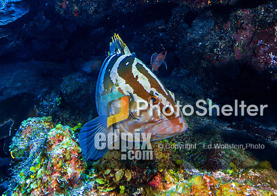 23 July 2015: A Nassau Grouper, Epinephelus striatus, is cleaned by some neon gobies (Elacatinus) on the reef at Main Street, on the North Shore of Grand Cayman Island. Located in the British West Indies in the Caribbean, the Cayman Islands are renowned for excellent scuba diving, snorkeling, beaches and banking.  Mandatory Credit: Ed Wolfstein Photo *** RAW (NEF) Image File Available ***