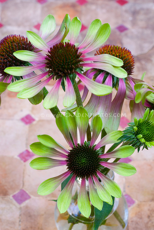 echinacea purpurea 39 green envy 39 green coneflower plant. Black Bedroom Furniture Sets. Home Design Ideas