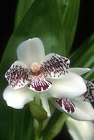Pabstia jugosa orchid species aka Colax jugosus, Saddle Shaped Orchid, white flowers with reddish purple spots and markings, epiphytic or lithophytic native to Brazil