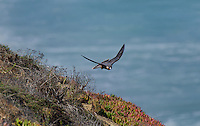527950044 a wild federally endangered juvenile peregrine falcon falco peregrinus soars over a cliff face along the pacific ocean at torrey pines state preserve la jolla california