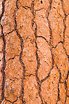 Detail of Ponderosa pine bark, Lassen Volcanic National Park, California USA