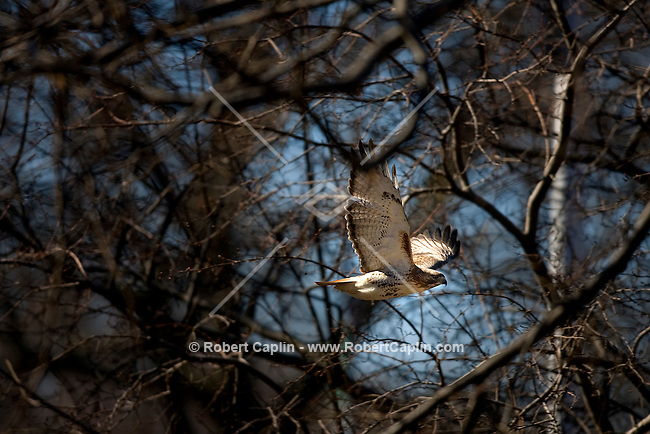 Red-tailed hawk in Riverside Park. A pair of red-tails are building a nest on a large honey locust tree that hangs over the W.79th Street on ramp to the West Side Highway. We're a bit worried that it is being built over a busy street leading to the northbound West Side highway.