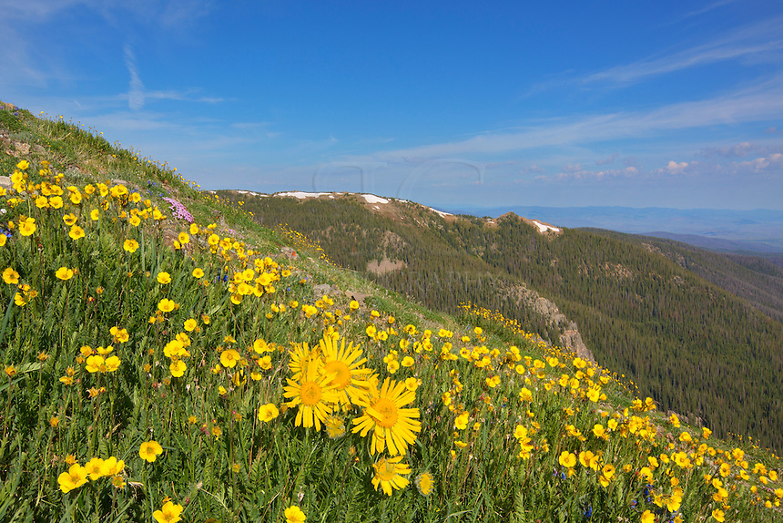 "At about 12,000 feet in elevation on the Byers Peak Trail, lots of gold was spread along the trail. Here, a group of ""Old Man of the Mountain"" sunflowers was nestled in among other yellow and purple Colorado wildflowers, making the grunt up this peak a bit more enjoyable."
