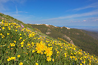 """At about 12,000 feet in elevation on the Byers Peak Trail, lots of gold was spread along the trail. Here, a group of """"Old Man of the Mountain"""" sunflowers was nestled in among other yellow and purple Colorado wildflowers, making the grunt up this peak a bit more enjoyable."""