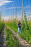 Hops fields in the Yakima Valley in Washington State.  Kirby Redman checking the hops fields.