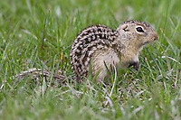 Thirteen-lined Ground Squirrels
