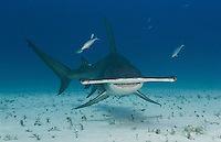RR1946-D. Great Hammerhead Shark (Sphyrna mokarran), a large and solitary species growing to 20 feet long, found worldwide in tropical seas. Bahamas, Atlantic Ocean.<br /> Photo Copyright &copy; Brandon Cole. All rights reserved worldwide.  www.brandoncole.com