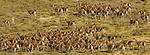 Herd of guanacos, Torres del Paine National Park, Chile