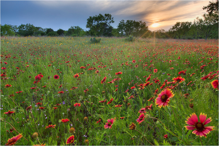 We drove for a long time this day looking for a wildflower field to shoot at sunset. This Texas wildflower image comes from Llano county and is composed mainly of firewheels and greenthread. The sun was setting in a haze of clouds. Little did we know a few minutes later the sky would light up with orange and purples. In the meantime, I took the opportunity to shoot these Texas wildflowers in the Texas Hill Country as the sun setting through the low thin layers of clouds.