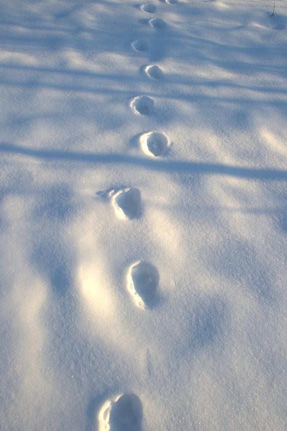 Felis Lynx, tracks,Gaupespor Sarek,Sweden