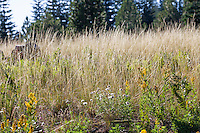 Stipa occidentalis v. californica, California Needle Grass, native grass in Sierra meadow with Monarda and goldenrod