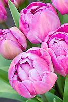 Double Late Tulip Blue Diamond